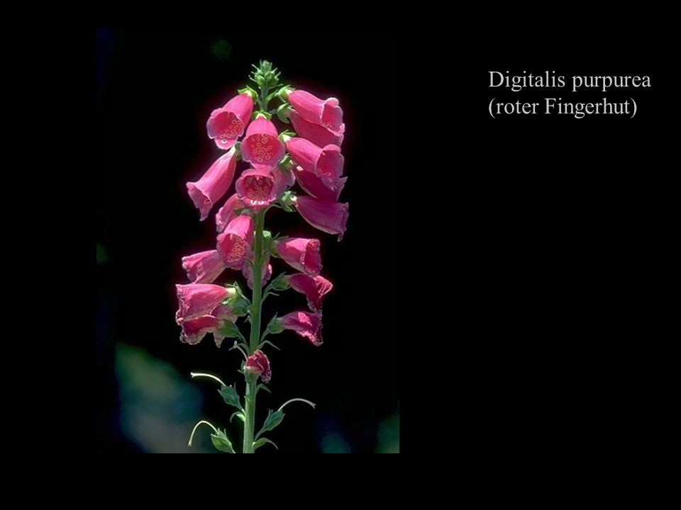 Digitalis purpurea (roter Fingerhut)