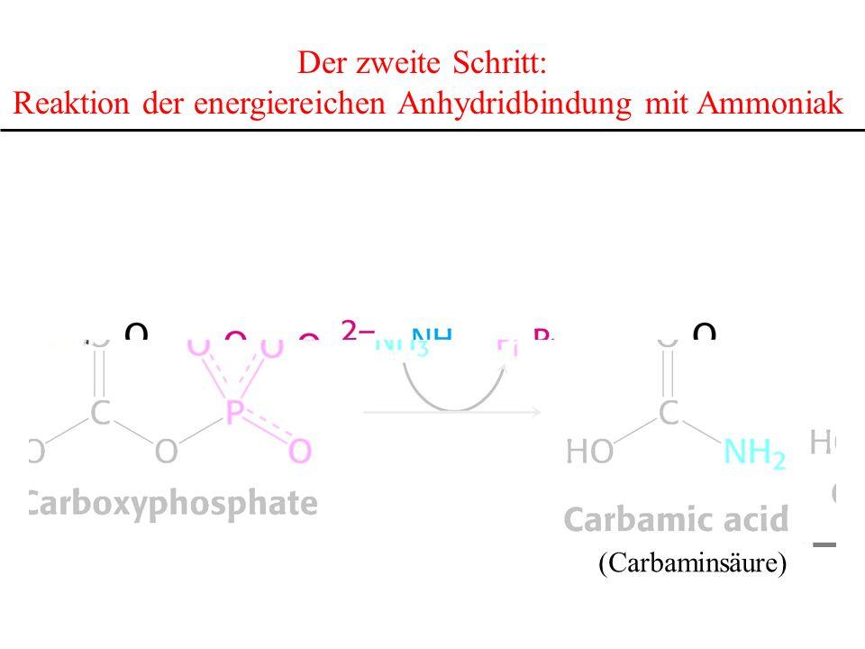 Reaktion der energiereichen Anhydridbindung mit Ammoniak