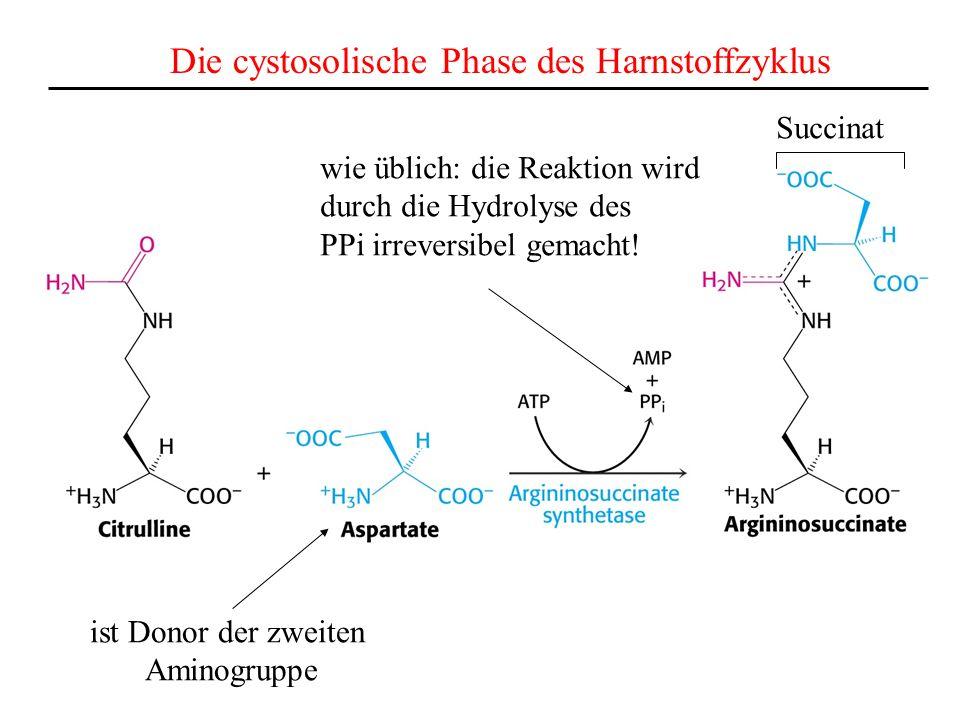 Die cystosolische Phase des Harnstoffzyklus