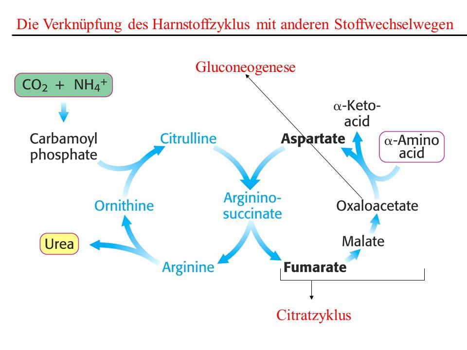 Die Verknüpfung des Harnstoffzyklus mit anderen Stoffwechselwegen