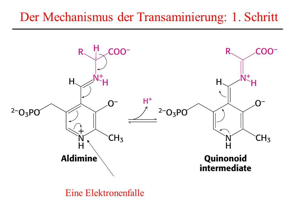Der Mechanismus der Transaminierung: 1. Schritt