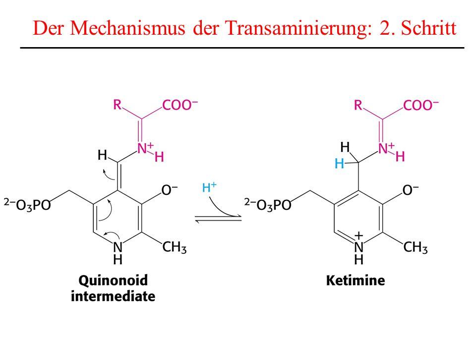 Der Mechanismus der Transaminierung: 2. Schritt