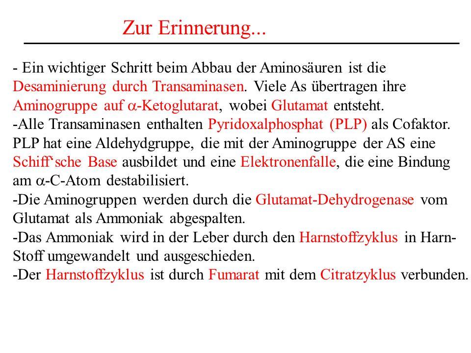 Zur Erinnerung... - Ein wichtiger Schritt beim Abbau der Aminosäuren ist die. Desaminierung durch Transaminasen. Viele As übertragen ihre.