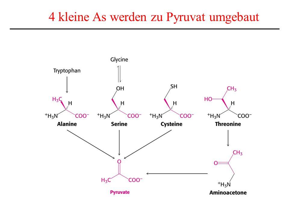 4 kleine As werden zu Pyruvat umgebaut