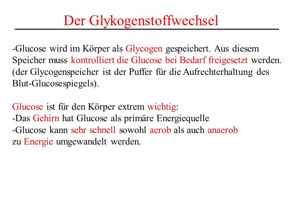 Der Glykogenstoffwechsel
