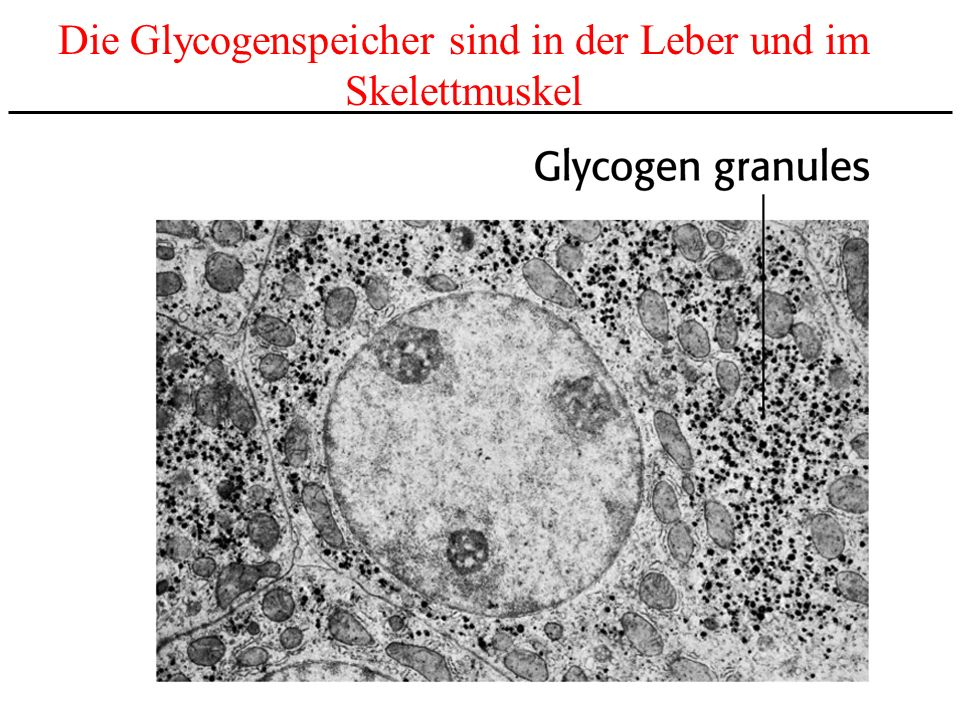 Die Glycogenspeicher sind in der Leber und im
