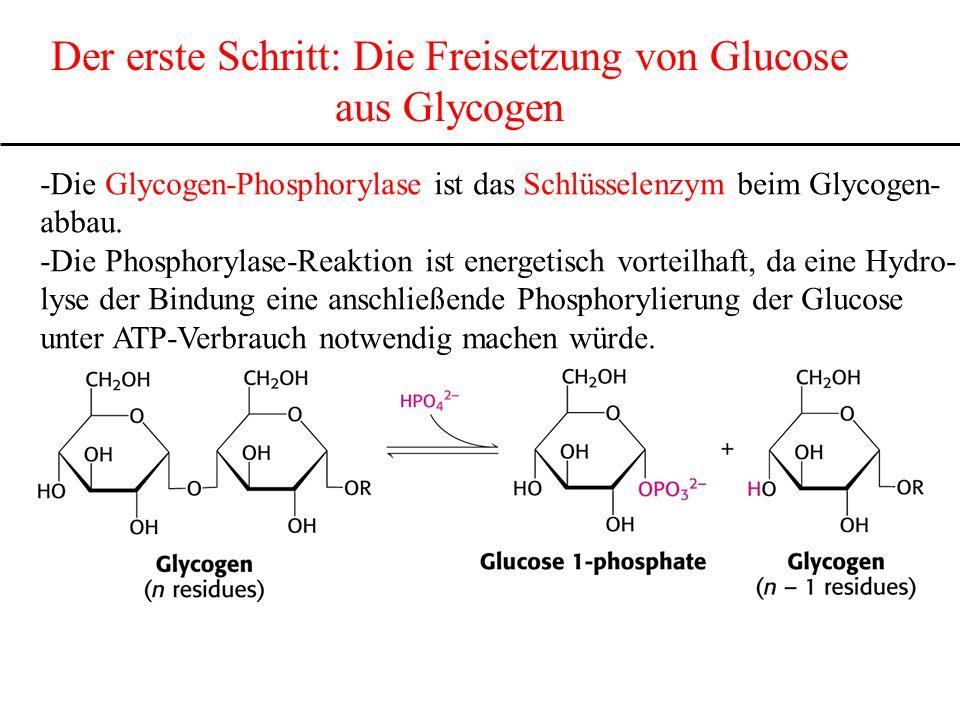 Der erste Schritt: Die Freisetzung von Glucose