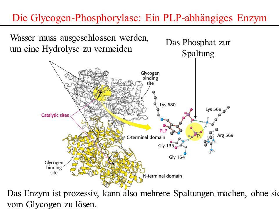 Die Glycogen-Phosphorylase: Ein PLP-abhängiges Enzym
