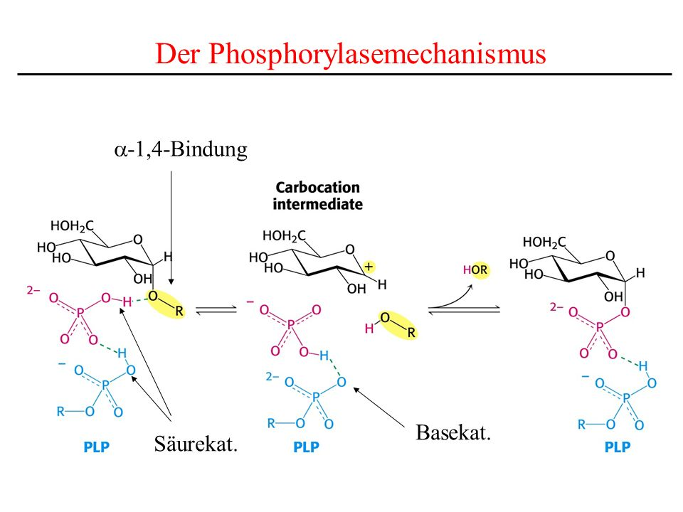 Der Phosphorylasemechanismus