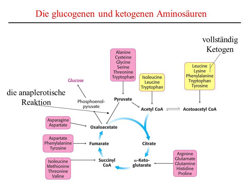Die glucogenen und ketogenen Aminosäuren
