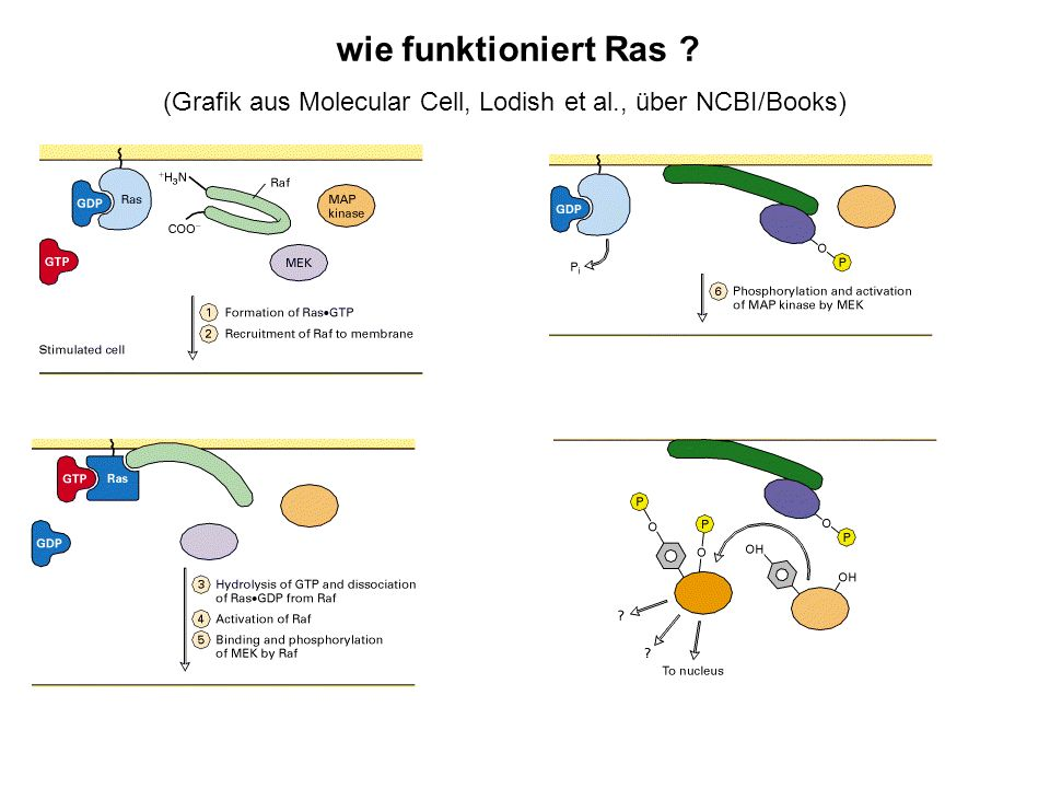 wie funktioniert Ras (Grafik aus Molecular Cell, Lodish et al., über NCBI/Books)