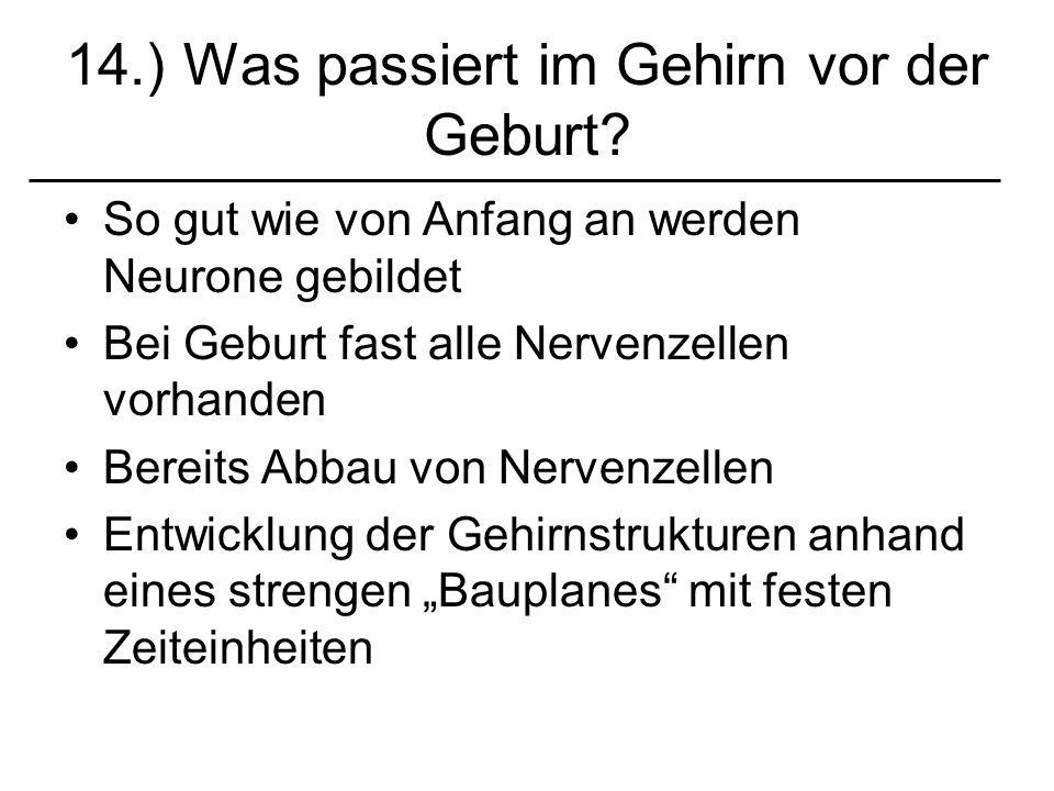 14.) Was passiert im Gehirn vor der Geburt