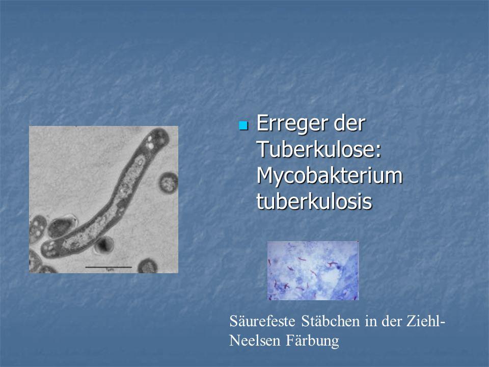 Erreger der Tuberkulose: Mycobakterium tuberkulosis