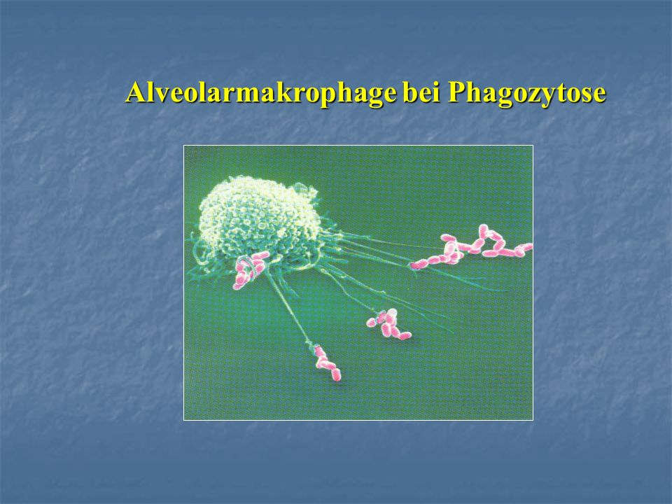 Alveolarmakrophage bei Phagozytose