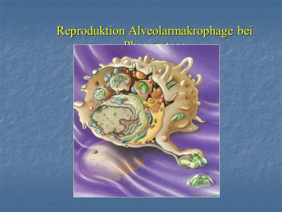 Reproduktion Alveolarmakrophage bei Phagozytose