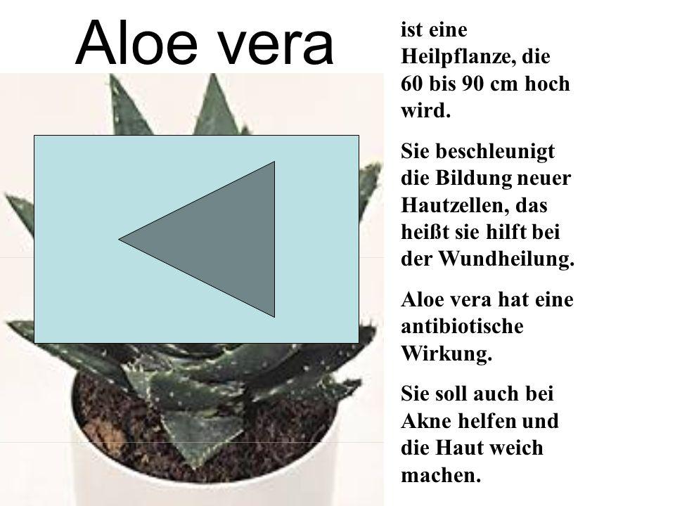 Aloe vera ist eine Heilpflanze, die 60 bis 90 cm hoch wird.