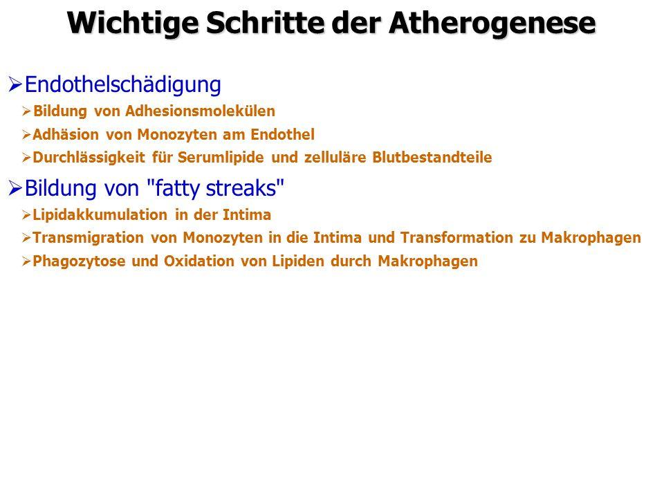 Wichtige Schritte der Atherogenese