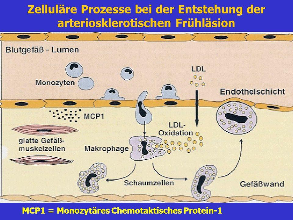 Zelluläre Prozesse bei der Entstehung der arteriosklerotischen Frühläsion