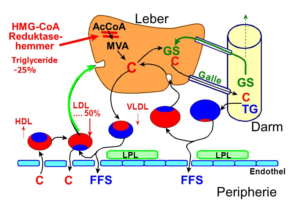 C Leber Darm Peripherie GS C GS C TG C C FFS FFS HMG-CoA Reduktase-