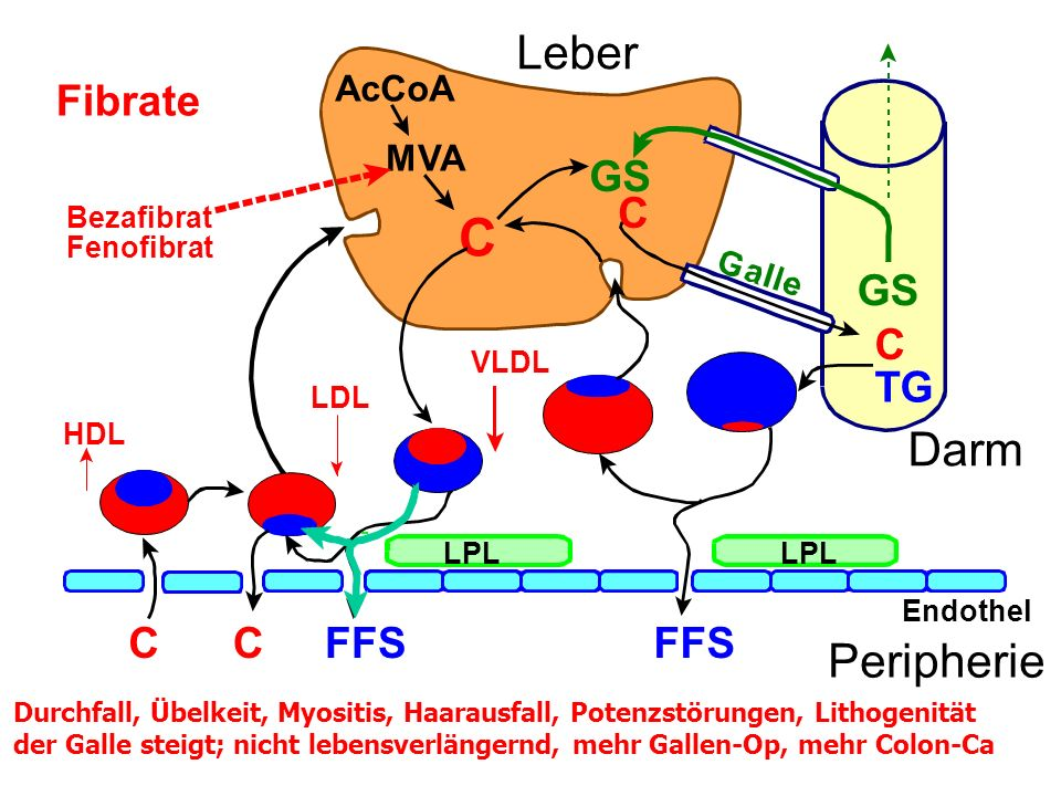 C Leber Darm Peripherie Fibrate GS C GS C TG FFS FFS C AcCoA MVA