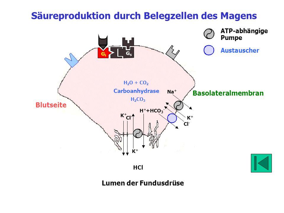 Säureproduktion durch Belegzellen des Magens
