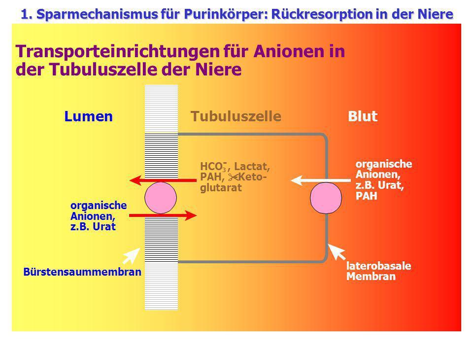 Transporteinrichtungen für Anionen in der Tubuluszelle der Niere