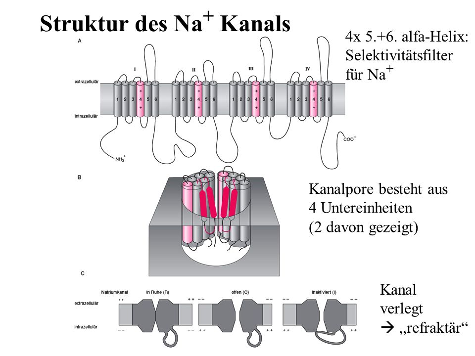 Struktur des Na+ Kanals