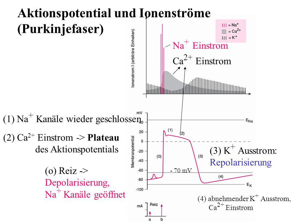 Aktionspotential und Ionenströme (Purkinjefaser)