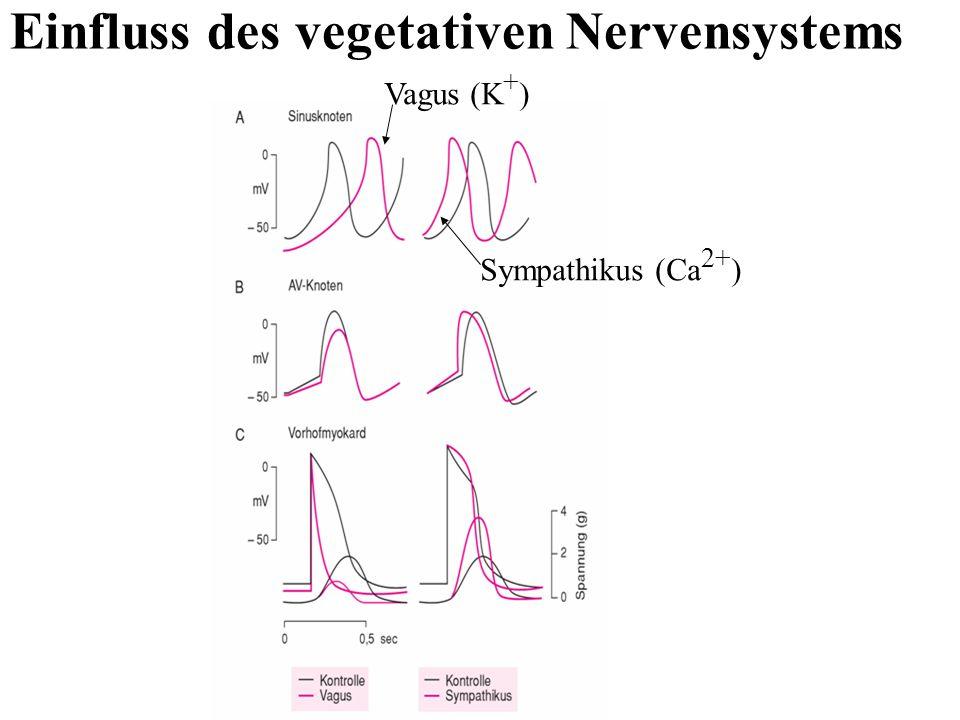 Einfluss des vegetativen Nervensystems