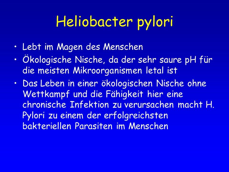Heliobacter pylori Lebt im Magen des Menschen