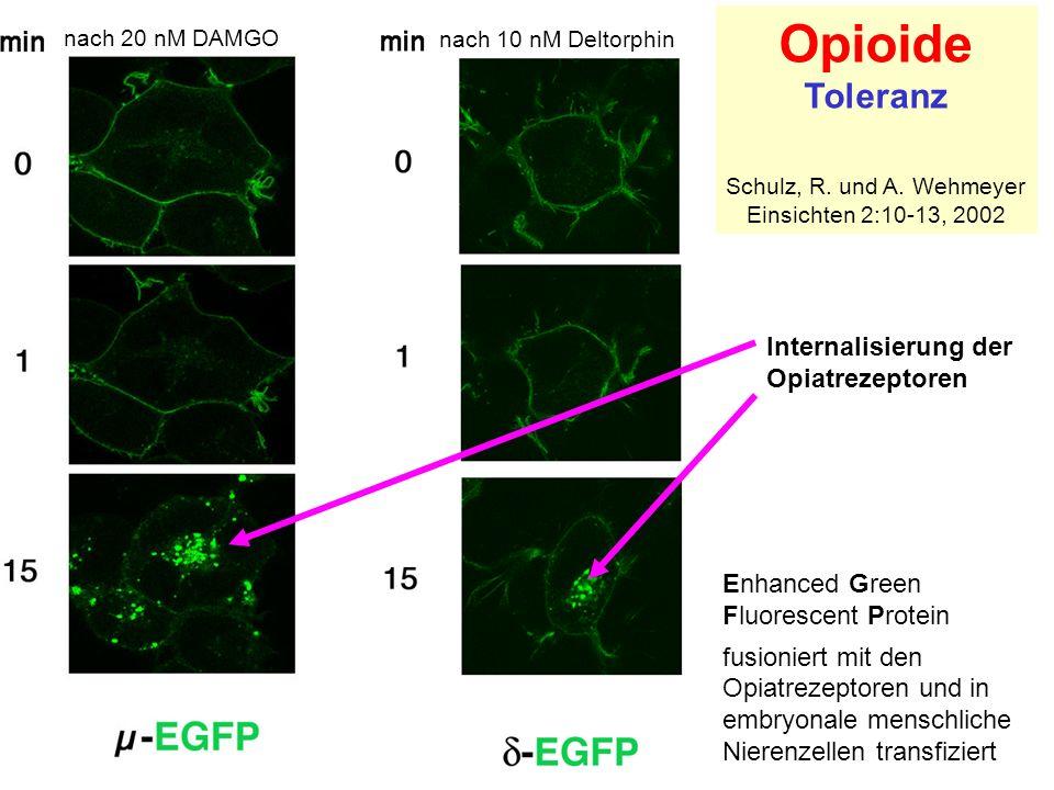 Opioide Toleranz Internalisierung der Opiatrezeptoren