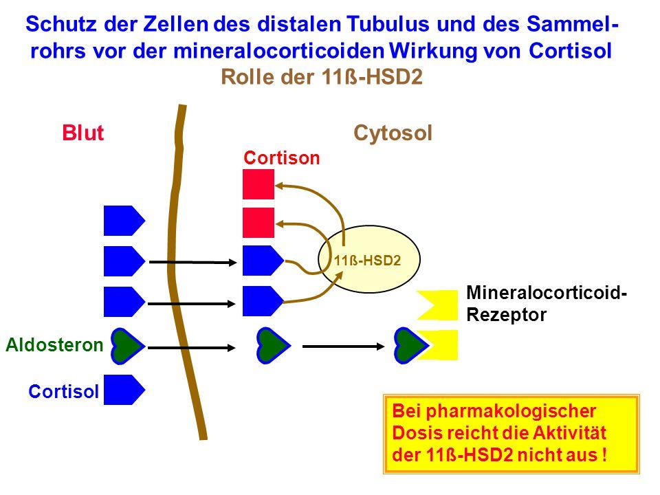 Schutz der Zellen des distalen Tubulus und des Sammel-rohrs vor der mineralocorticoiden Wirkung von Cortisol