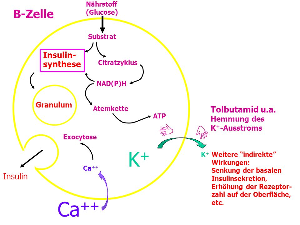 K+   B-Zelle Insulin- synthese Tolbutamid u.a. Insulin Granulum