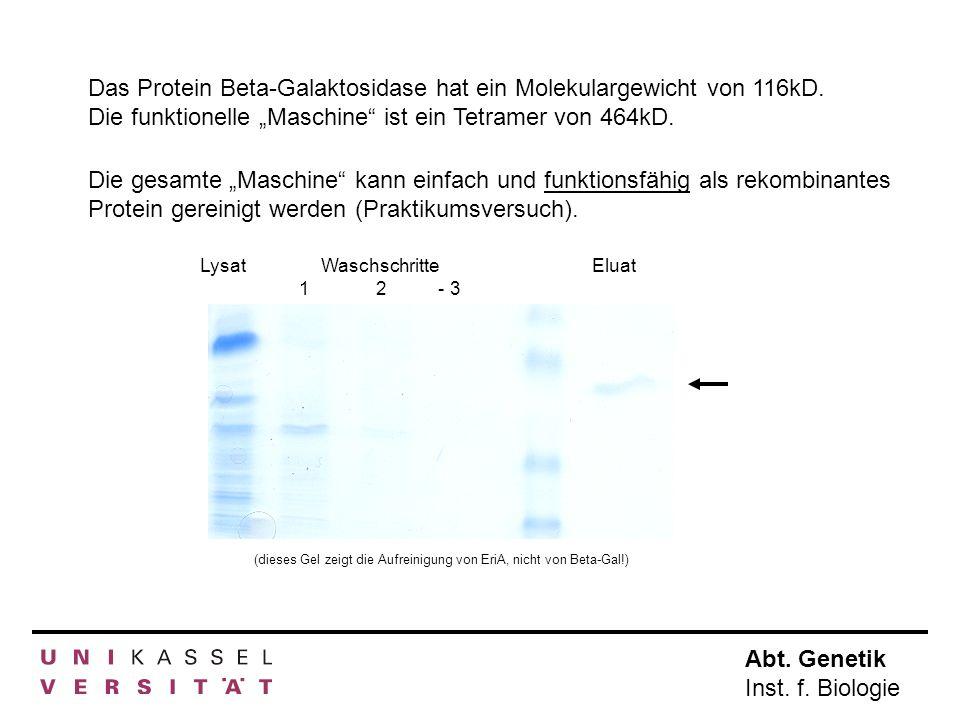 Das Protein Beta-Galaktosidase hat ein Molekulargewicht von 116kD
