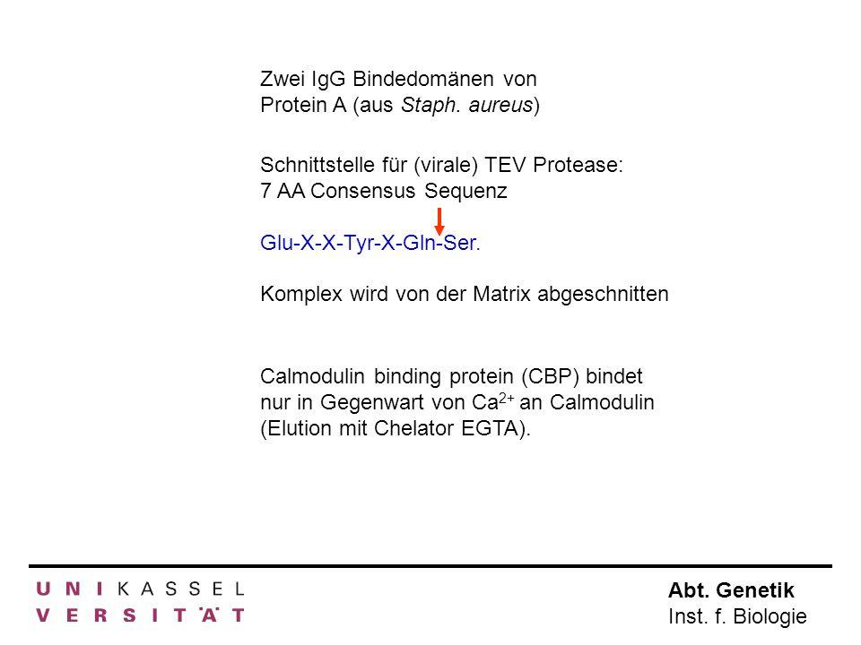 Zwei IgG Bindedomänen von Protein A (aus Staph. aureus)