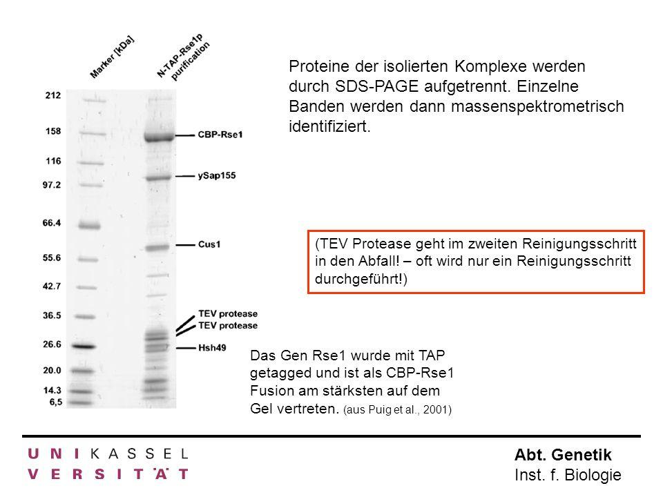 Proteine der isolierten Komplexe werden durch SDS-PAGE aufgetrennt
