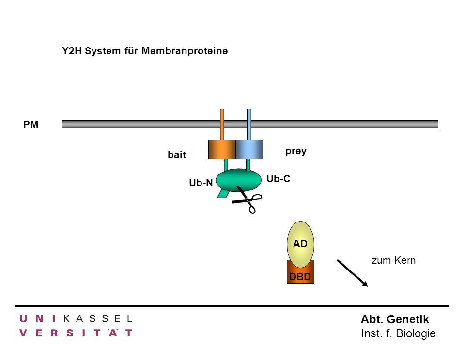  Y2H System für Membranproteine PM prey bait Ub-C Ub-N AD AD DBD