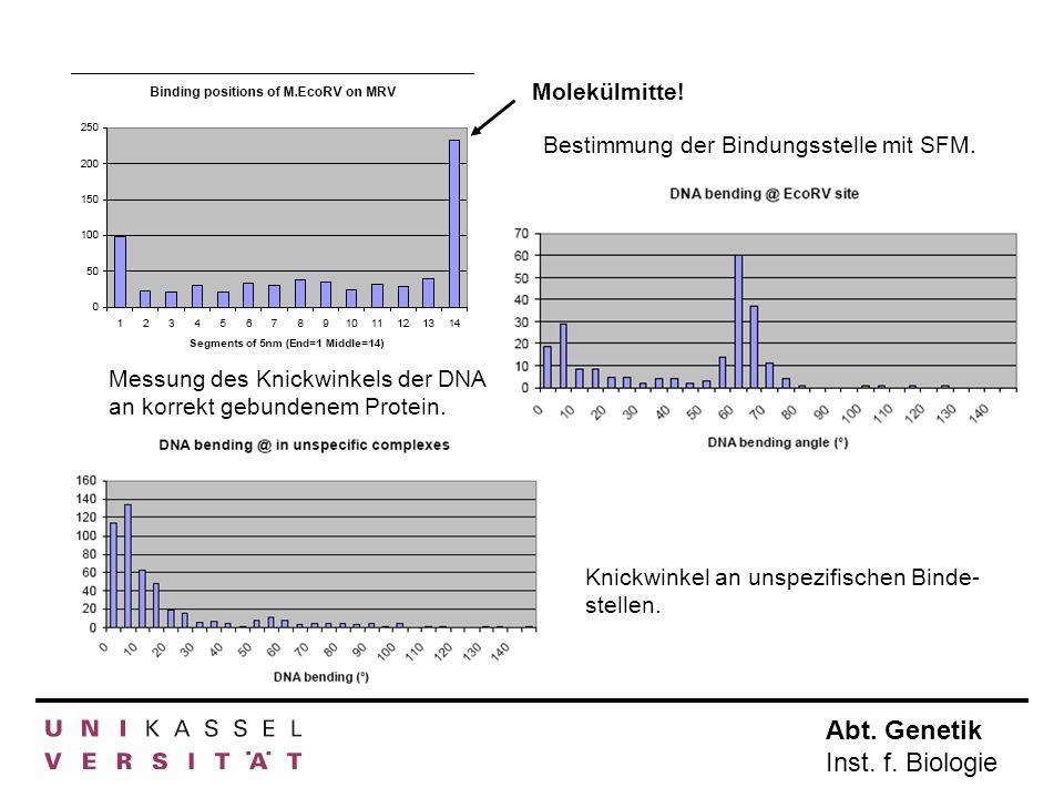 Molekülmitte! Bestimmung der Bindungsstelle mit SFM. Messung des Knickwinkels der DNA an korrekt gebundenem Protein.