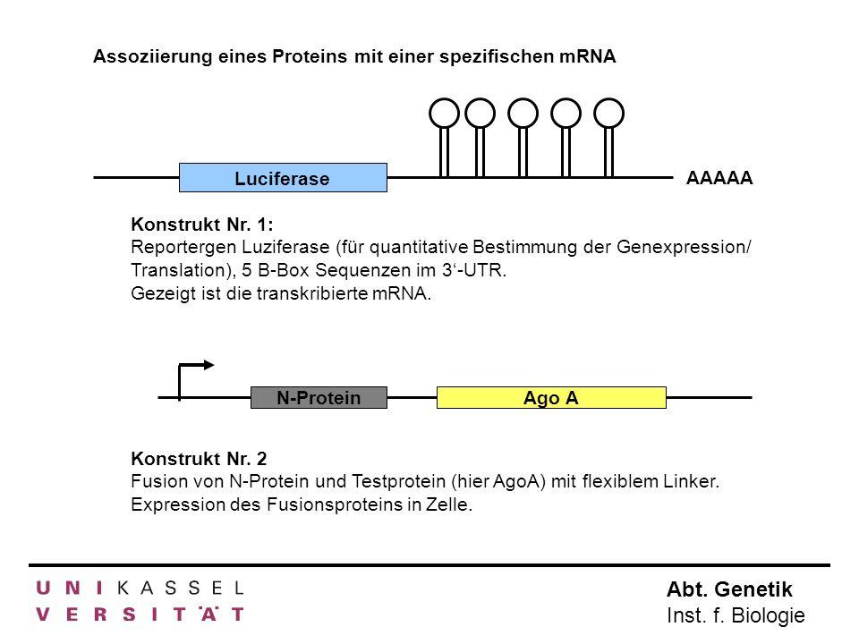 Assoziierung eines Proteins mit einer spezifischen mRNA