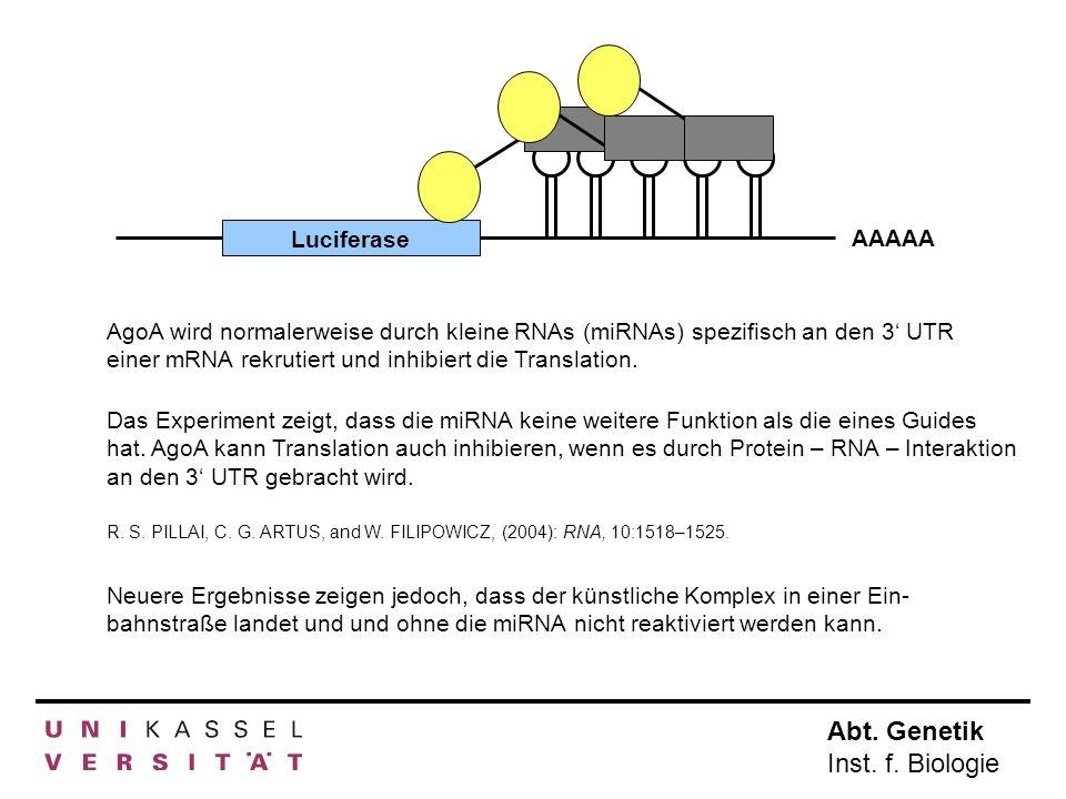 LuciferaseAAAAA. AgoA wird normalerweise durch kleine RNAs (miRNAs) spezifisch an den 3' UTR einer mRNA rekrutiert und inhibiert die Translation.