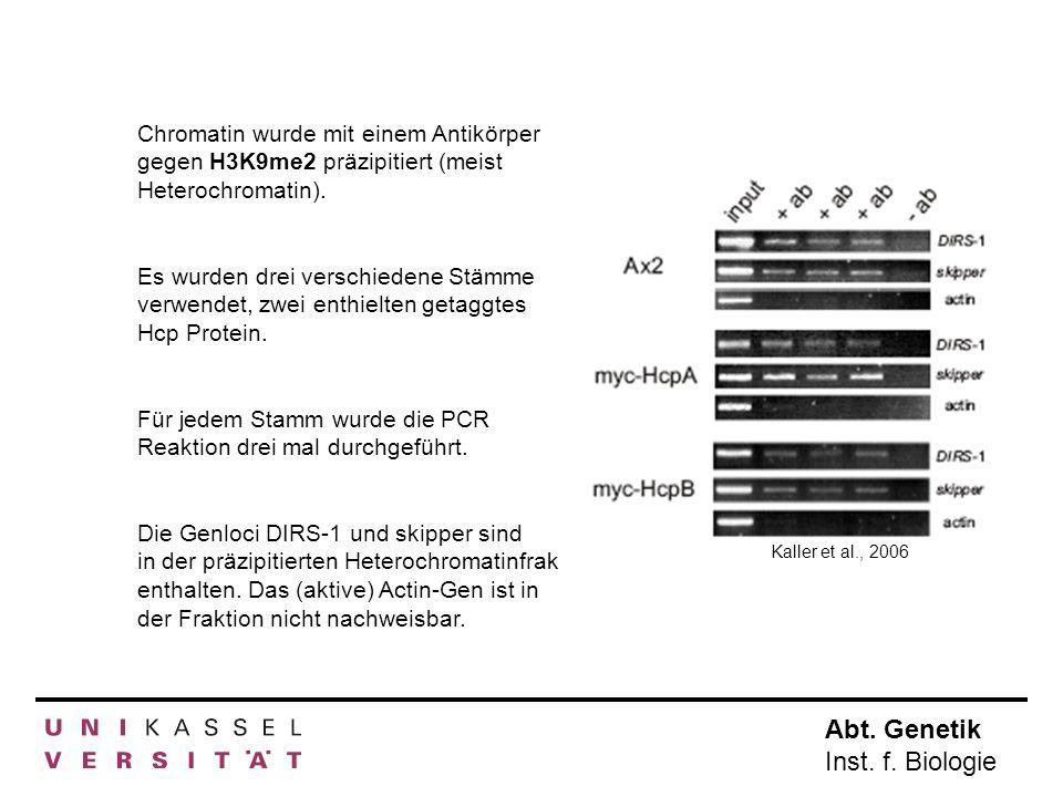 Für jedem Stamm wurde die PCR Reaktion drei mal durchgeführt.