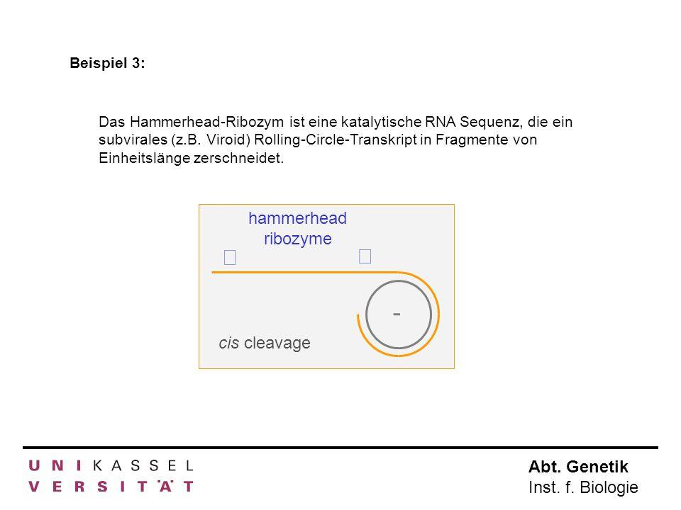 - ß hammerhead ribozyme cis cleavage Beispiel 3: