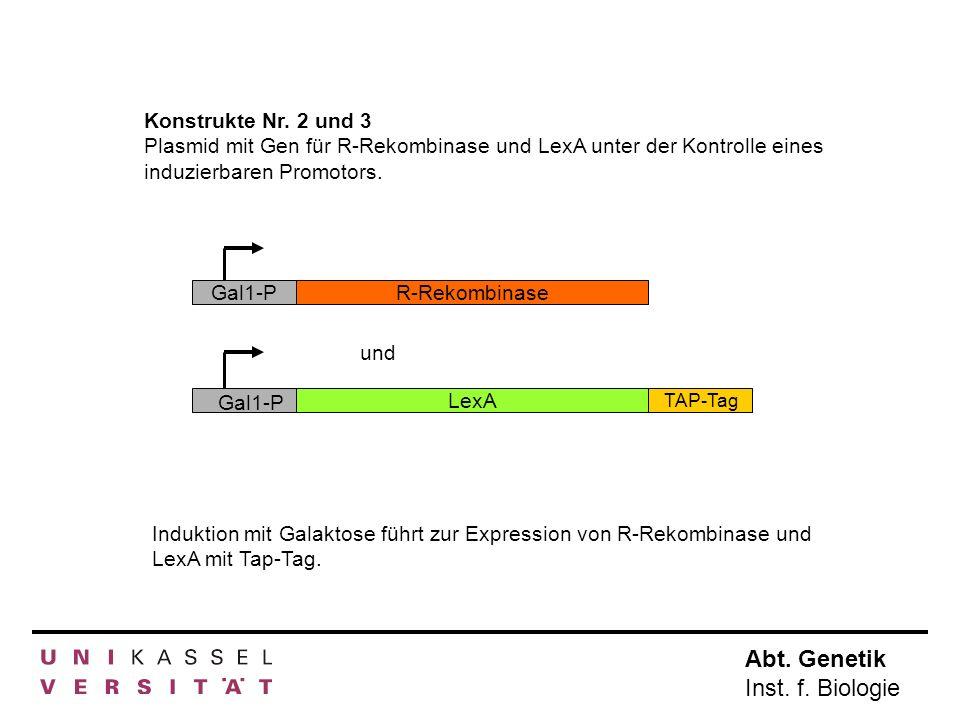 Konstrukte Nr. 2 und 3 Plasmid mit Gen für R-Rekombinase und LexA unter der Kontrolle eines induzierbaren Promotors.