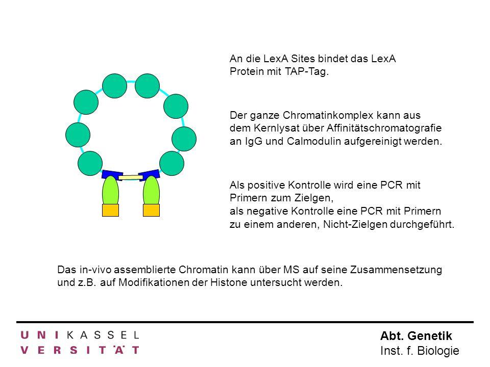 An die LexA Sites bindet das LexA Protein mit TAP-Tag.