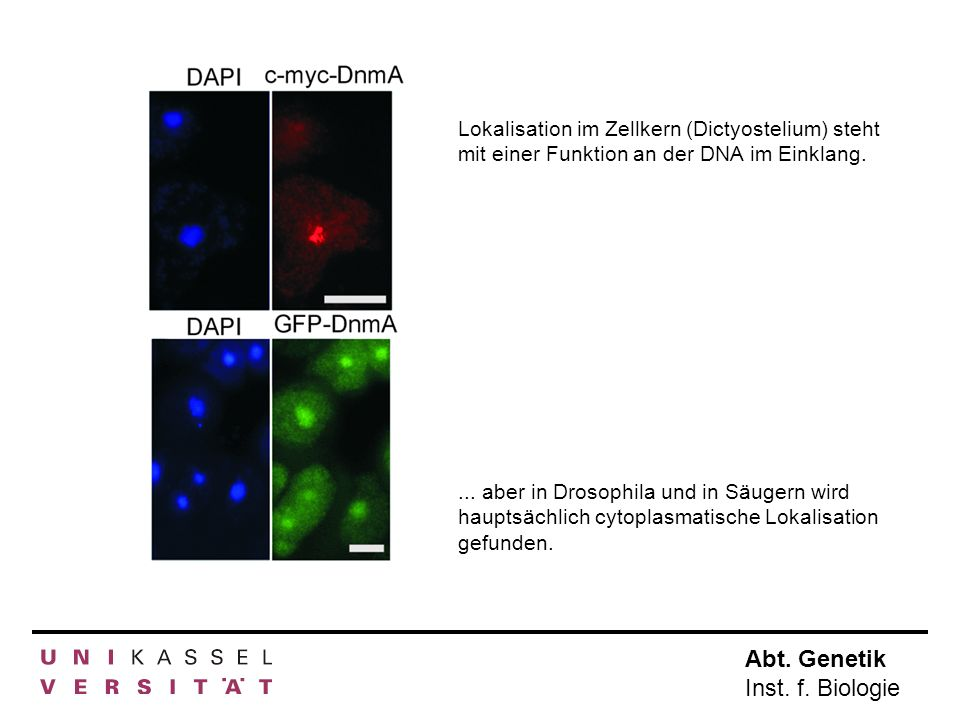 Lokalisation im Zellkern (Dictyostelium) steht mit einer Funktion an der DNA im Einklang.
