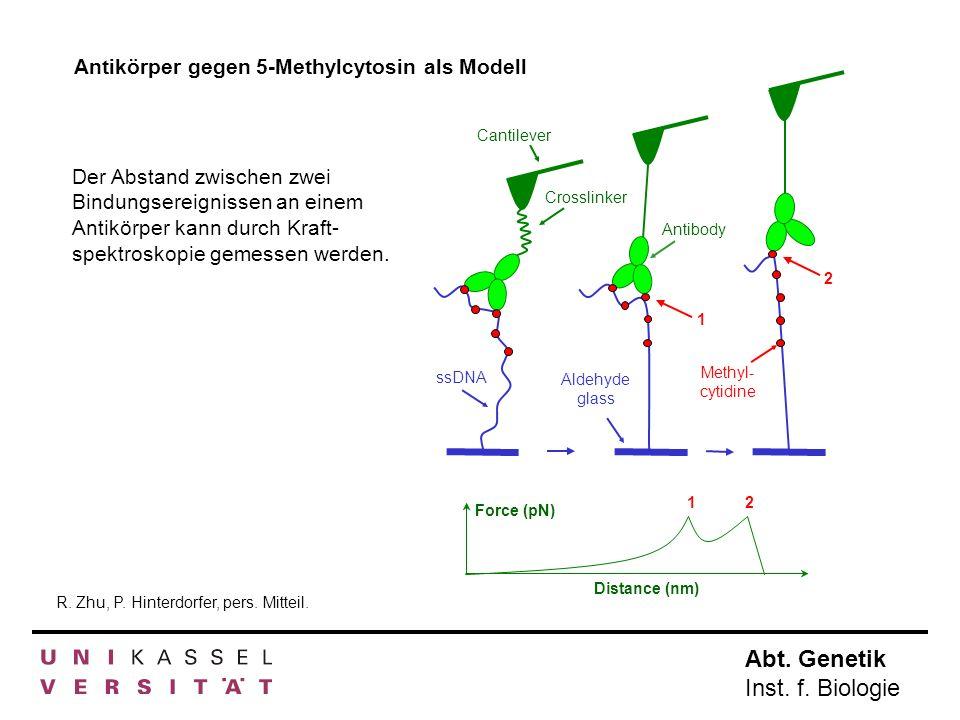 Antikörper gegen 5-Methylcytosin als Modell