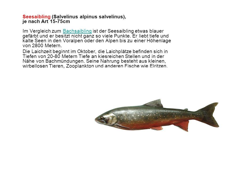 Seesaibling (Salvelinus alpinus salvelinus), je nach Art 15-75cm Im Vergleich zum Bachsaibling ist der Seesaibling etwas blauer gefärbt und er besitzt nicht ganz so viele Punkte. Er liebt tiefe und kalte Seen in den Voralpen oder den Alpen bis zu einer Höhenlage von 2800 Metern.