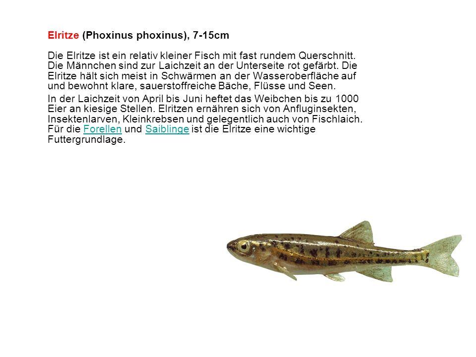 Elritze (Phoxinus phoxinus), 7-15cm Die Elritze ist ein relativ kleiner Fisch mit fast rundem Querschnitt. Die Männchen sind zur Laichzeit an der Unterseite rot gefärbt. Die Elritze hält sich meist in Schwärmen an der Wasseroberfläche auf und bewohnt klare, sauerstoffreiche Bäche, Flüsse und Seen.