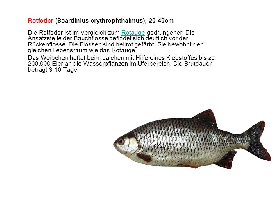 Rotfeder (Scardinius erythrophthalmus), 20-40cm Die Rotfeder ist im Vergleich zum Rotauge gedrungener. Die Ansatzstelle der Bauchflosse befindet sich deutlich vor der Rückenflosse. Die Flossen sind hellrot gefärbt. Sie bewohnt den gleichen Lebensraum wie das Rotauge.
