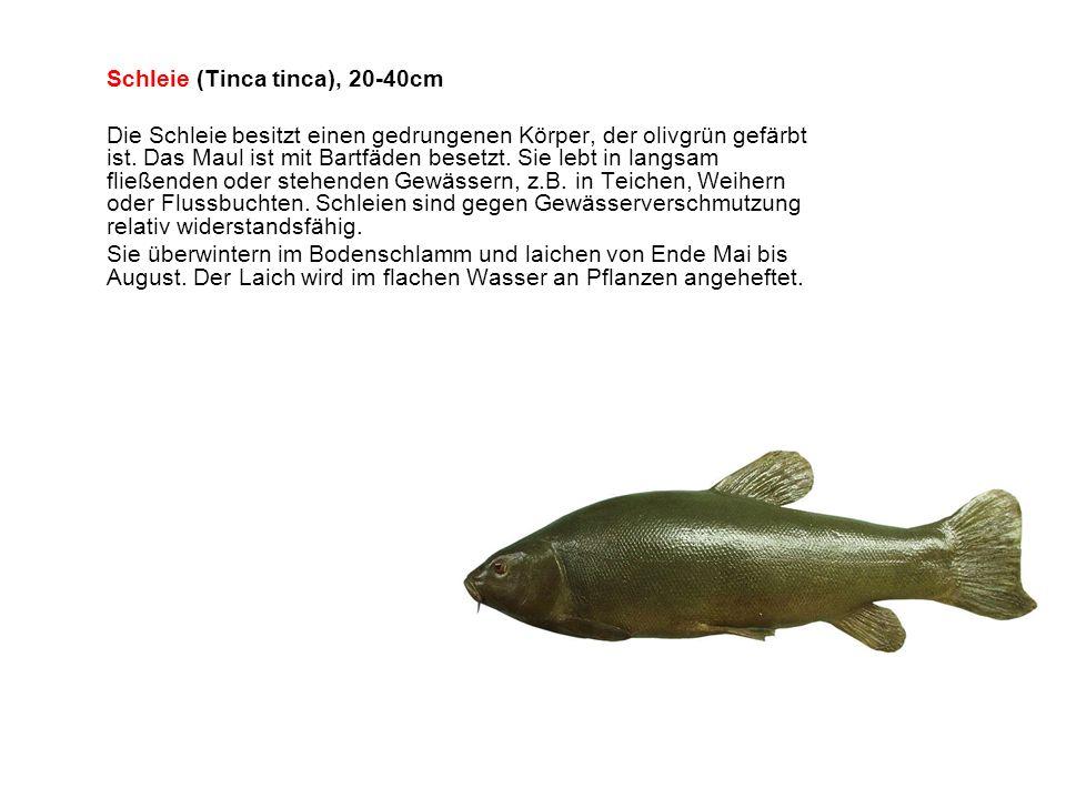 Schleie (Tinca tinca), 20-40cm